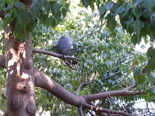 Koala at the LA Zoo